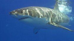 Jihoafrickým velkým bílým žralokům hrozí vyhynutí