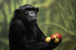 Tlupa šimpanzů v ZOO Dvůr Králové se rozrostla o tři nové samice