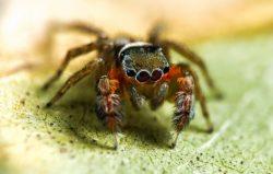 V Austrálii objeveno na pět desítek nových druhů pavouků