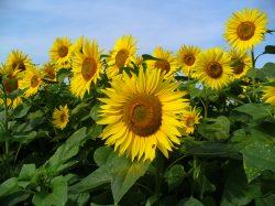 Proč se točí slunečnice za sluncem?