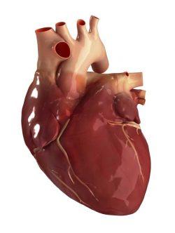 Výzkumníci vytvořili 3D model bijícího srdce