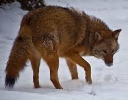 V Severní Americe se vyvinul nový druh psovité šelmy
