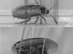 Pro roboty inspirované šváby nebudou překážky problém