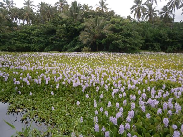 Tokozelka nadmutá (Eichhornia crassipes)