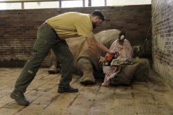 Jak ochránit nosorožce? Dvorská zoo jim začala odstraňovat rohovinu