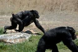 Šimpanzi pečují o postižená mláďata