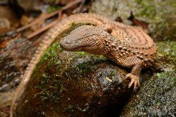 Pražská zoo získala vzácné varanovce bornejské
