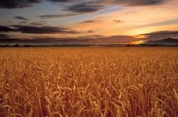 """Britové v době kamenné pšenici """"dováželi"""""""