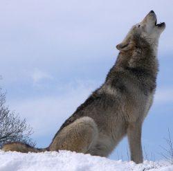 Prokáže monitoring velkých šelem v Krušných horách výskyt vlka?