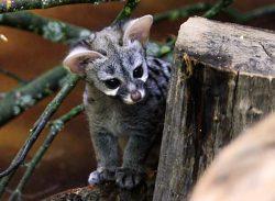 Nejoblíbenějším mládětem dvorské zoo je ženetka Zuzi